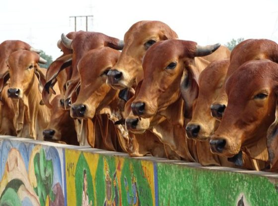 a2-indian-cow-milk-benefits