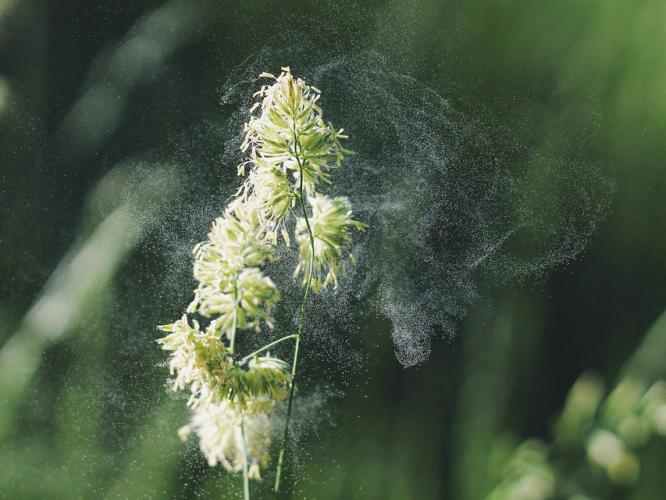 plant-pollen-allergens